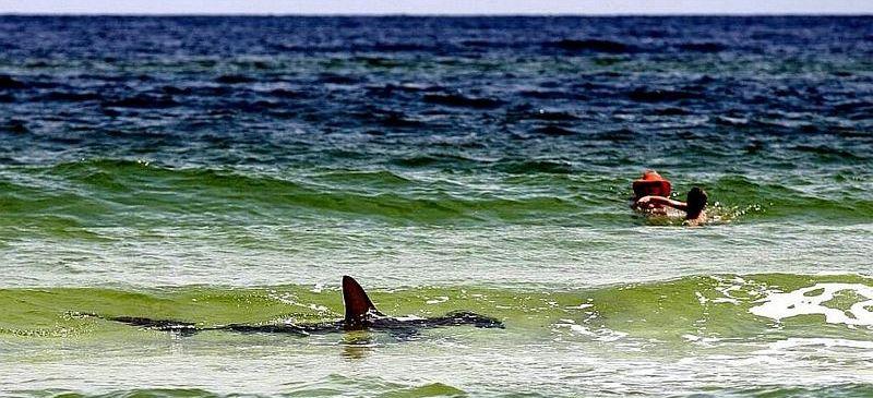 sharks ocean swimmers